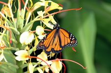 Free Monarch Butterfly Stock Images - 72904