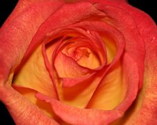 Orange And Red Rose Stock Photography