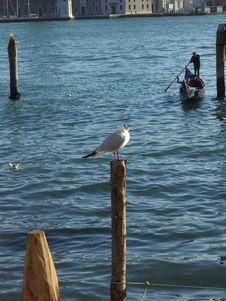 Free Venetian Seagull Royalty Free Stock Photography - 74767