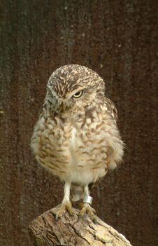 Free Hooting Owl 1 Stock Photo - 75920