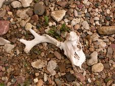 Free Skull In Bed Of Rocks Royalty Free Stock Photos - 76118