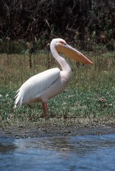 Free Pelican Stock Photo - 77020