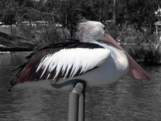 Free Pelican Sitting Royalty Free Stock Photography - 78497