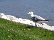 Free Seagull Eating Lunch Royalty Free Stock Photo - 78575