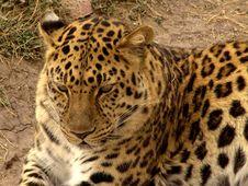 Free Jaguar Royalty Free Stock Photography - 78687