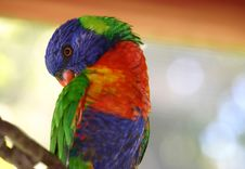 Free Rainbow Lorikeet 2 Royalty Free Stock Photo - 78795