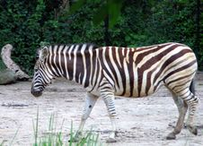 Free The Zebra Walk Royalty Free Stock Images - 78889
