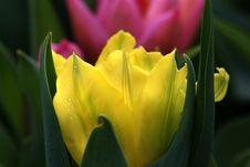Free Tulip Stock Images - 79614