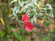 Free Hibiscus Stock Photo - 79670