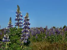 Free Lupines Royalty Free Stock Photos - 79678
