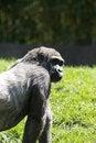 Free Gorilla Royalty Free Stock Image - 700246