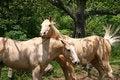 Free White Horses Stock Image - 703371