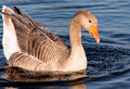 Free Goose With Droplets Of Water Stock Image - 706401