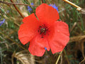 Free Poppy Royalty Free Stock Images - 709879