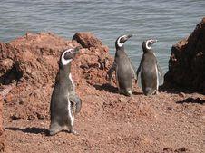 Free Magellanic Penguin Royalty Free Stock Images - 700069
