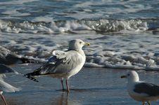 Free Seagulls On Daytona Beach Royalty Free Stock Images - 700529