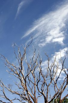 Free Dead Tree, Blue Sky Royalty Free Stock Photos - 700608