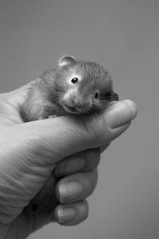 Free Small Hamster - 4 Stock Photo - 701140