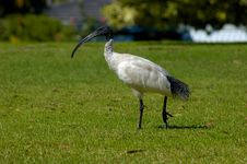 Free Australian Sacred Ibis Stock Photo - 701600