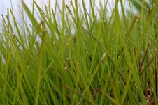 Free Fresh Grass With Dew Stock Image - 701751