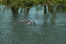 Free American Alligator At Lake Martin Stock Image - 701811