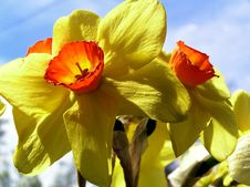Free Narcissius Stock Images - 702544