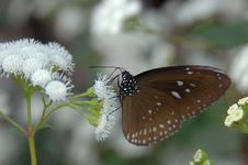 Free Brown Butterfly On White Flowers Royalty Free Stock Photo - 702615