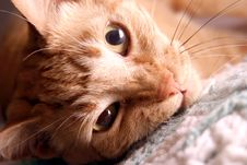 Free Close Up Of Cat Royalty Free Stock Image - 703206