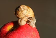 Free Snail On Red Apple Stock Photos - 703893