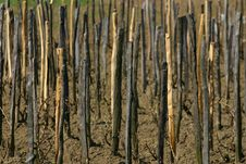 Free Vine Sticks Royalty Free Stock Image - 704546