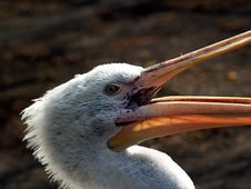 Free Great White Pelican - Pelecanus Onocrotalu Stock Photo - 704670