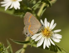 Free Red-Banded Hairstreak Butterfly Stock Images - 704904
