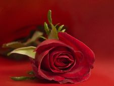 Free Red Rose Royalty Free Stock Images - 705169