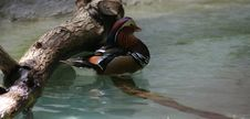 Free Mandarine Duck Stock Images - 705254