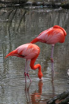 Free Pink Flamingos Stock Photography - 705322