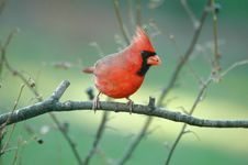 Free Northern Cardinal(male) Stock Image - 705341