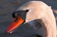 Free The Swans Head Stock Photography - 705362