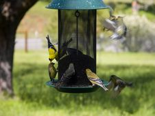 Free Birds - Gold Finches Stock Photo - 705420