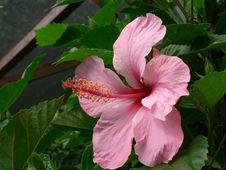 Free Hibiscus Flower Royalty Free Stock Photos - 705428