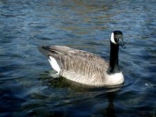 Free Canadian Goose Stock Images - 705854