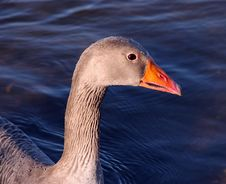 Free Goose Head Profile Royalty Free Stock Image - 706406