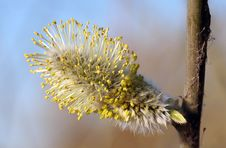 Free Pussy Willow Blossom Close Up Stock Image - 706471