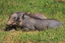 Free Juvenile Warthogs Royalty Free Stock Photography - 706577