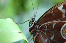 Free Morpho Blue (morpho Peleides) On Leaf 2 Stock Photography - 706962