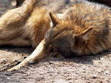 Free European Wolf - Canis Lupus Lupus Royalty Free Stock Images - 707539