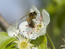 Free Bee On Apple Flower Stock Photo - 707780
