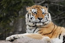 Free Tiger Lookout Royalty Free Stock Image - 707836