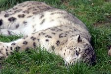 Free Snow Leopard Stock Photography - 707992