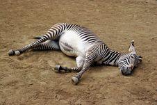 Free Sleeping Zebra Royalty Free Stock Photos - 708158