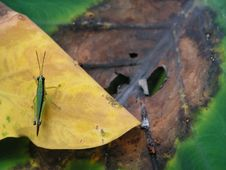 Free Grasshopper On  Leaf Royalty Free Stock Images - 709039